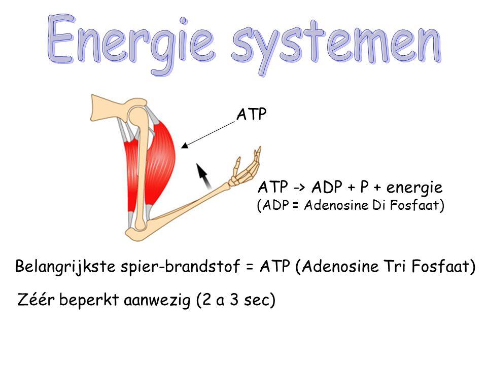 ATP Belangrijkste spier-brandstof = ATP (Adenosine Tri Fosfaat) Zéér beperkt aanwezig (2 a 3 sec) ATP -> ADP + P + energie (ADP = Adenosine Di Fosfaat