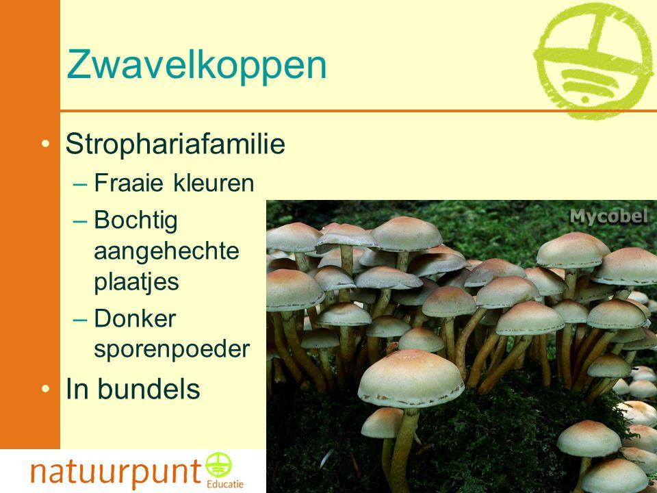 Met de steun van de Vlaamse minister van Cultuur, Jeugd, Sport en Brussel 107 Zwavelkoppen Strophariafamilie –Fraaie kleuren –Bochtig aangehechte plaa