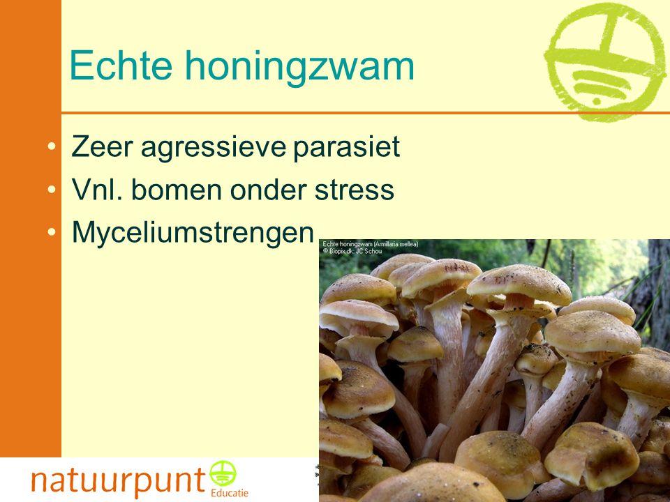 Met de steun van de Vlaamse minister van Cultuur, Jeugd, Sport en Brussel 43 Echte honingzwam Zeer agressieve parasiet Vnl. bomen onder stress Myceliu