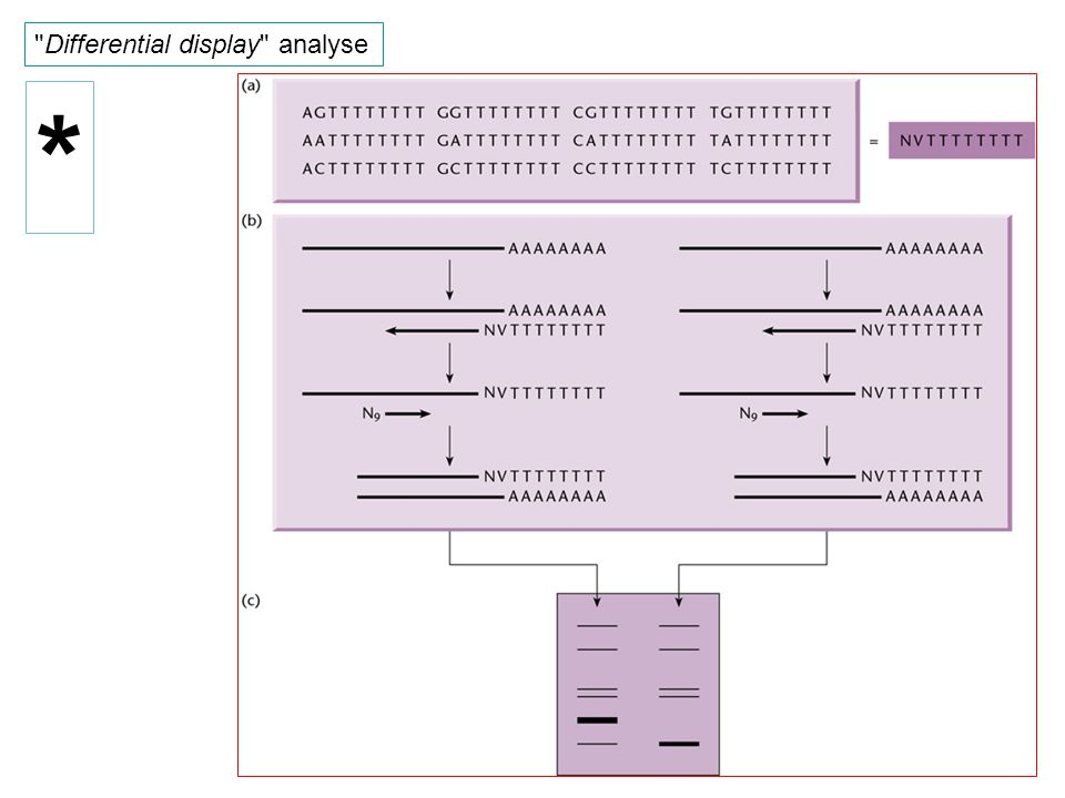 Differential display analyse *