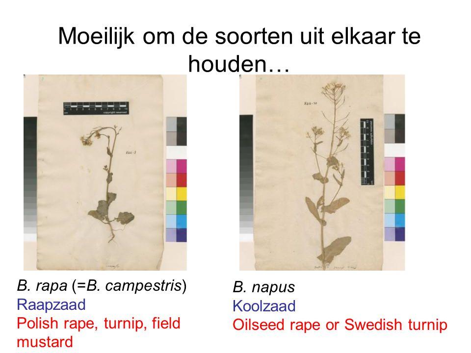 Moeilijk om de soorten uit elkaar te houden… B. rapa (=B. campestris) Raapzaad Polish rape, turnip, field mustard B. napus Koolzaad Oilseed rape or Sw