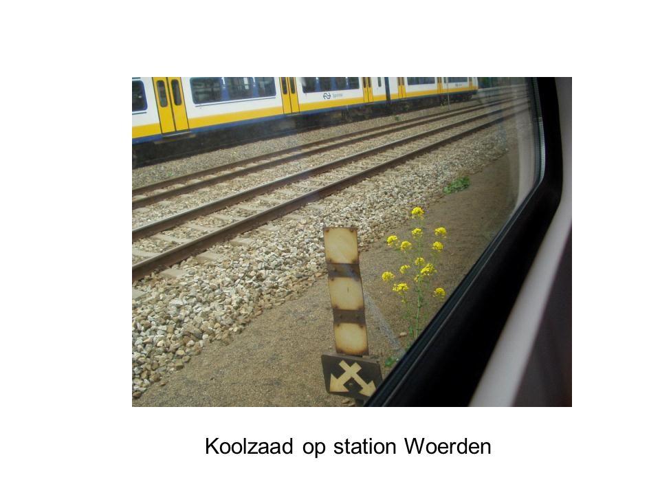Koolzaad op station Woerden