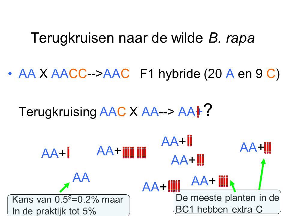 Terugkruisen naar de wilde B. rapa AA X AACC-->AAC F1 hybride (20 A en 9 C) Terugkruising AAC X AA--> AA+ ? AA+ AA Kans van 0.5 9 =0.2% maar In de pra