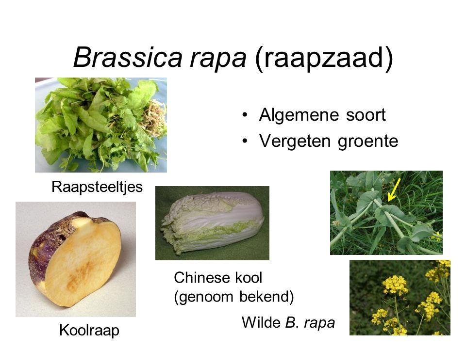 Brassica rapa (raapzaad) Algemene soort Vergeten groente Raapsteeltjes Koolraap Wilde B. rapa Chinese kool (genoom bekend)