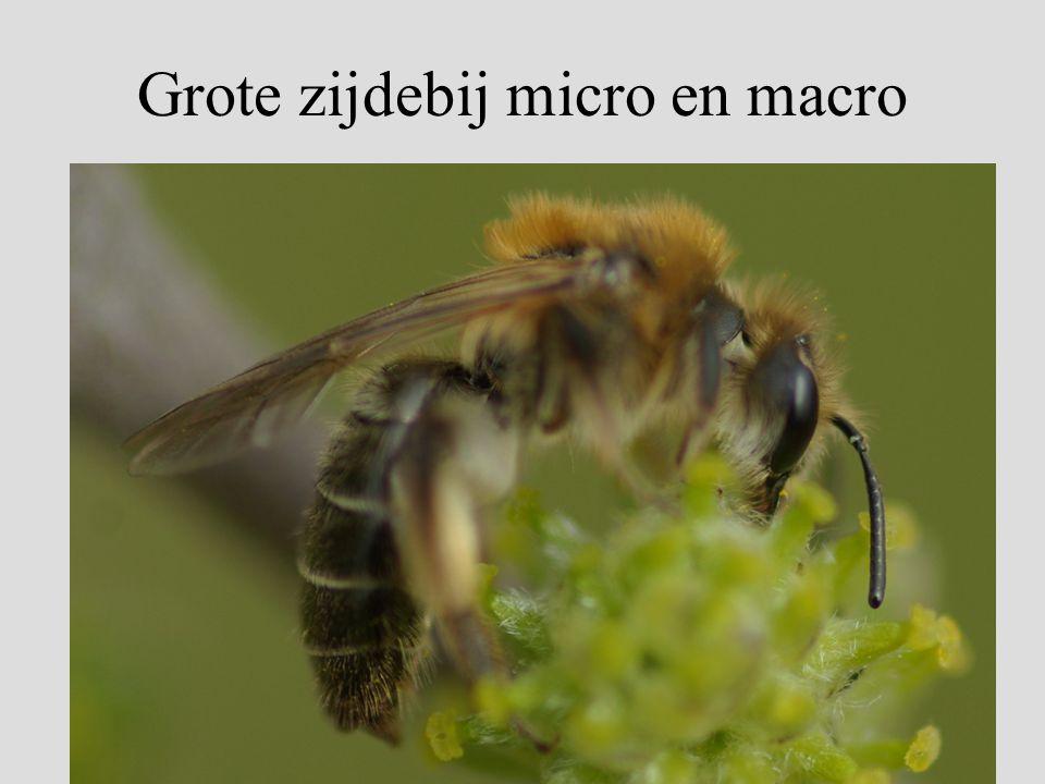 Grote zijdebij micro en macro