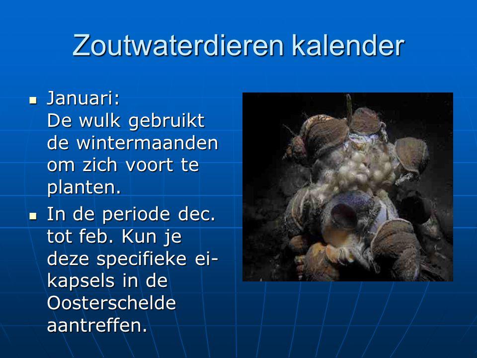 Zoutwaterdieren kalender Januari: De wulk gebruikt de wintermaanden om zich voort te planten. Januari: De wulk gebruikt de wintermaanden om zich voort