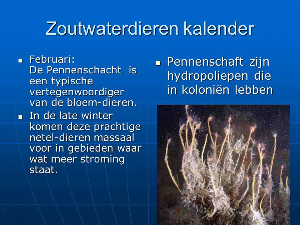 Zoutwaterdieren kalender Februari: De Pennenschacht is een typische vertegenwoordiger van de bloem-dieren. Februari: De Pennenschacht is een typische