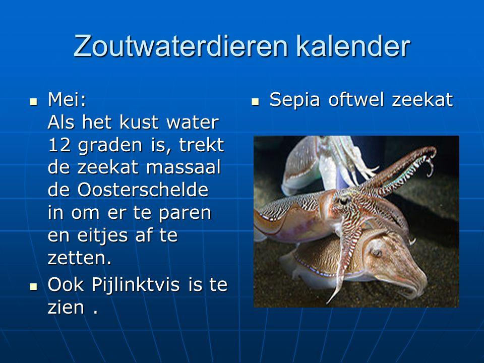 Zoutwaterdieren kalender Mei: Als het kust water 12 graden is, trekt de zeekat massaal de Oosterschelde in om er te paren en eitjes af te zetten. Mei:
