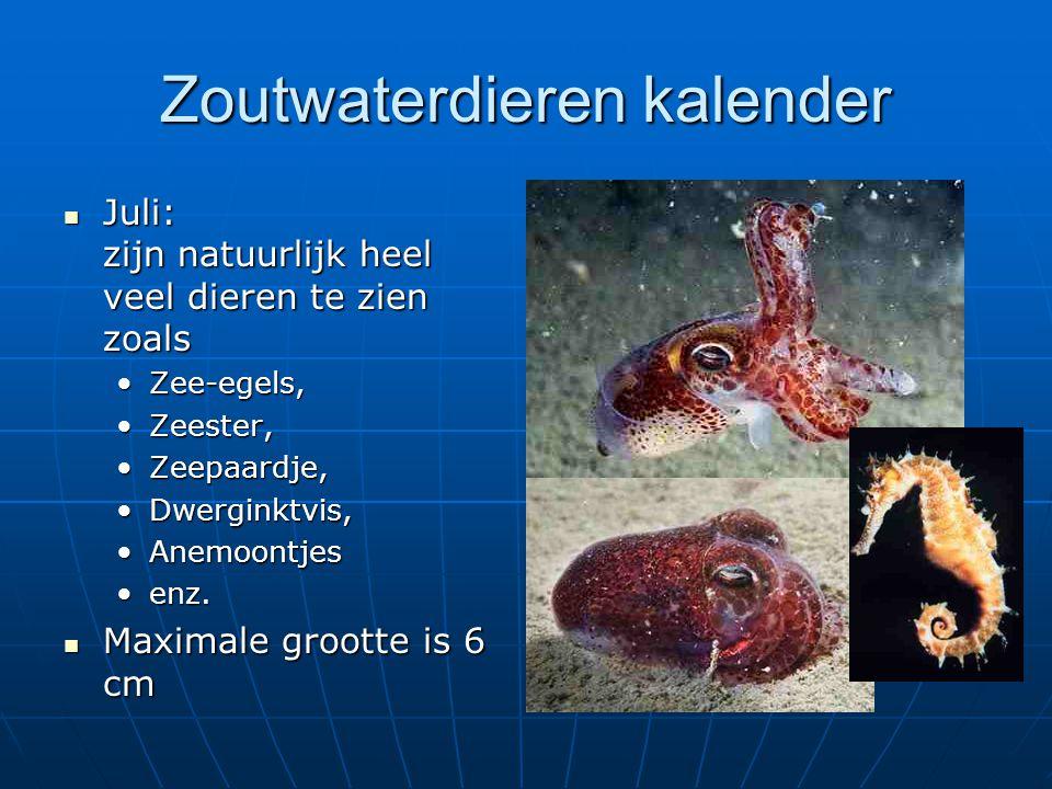 Zoutwaterdieren kalender Juli: zijn natuurlijk heel veel dieren te zien zoals Juli: zijn natuurlijk heel veel dieren te zien zoals Zee-egels,Zee-egels