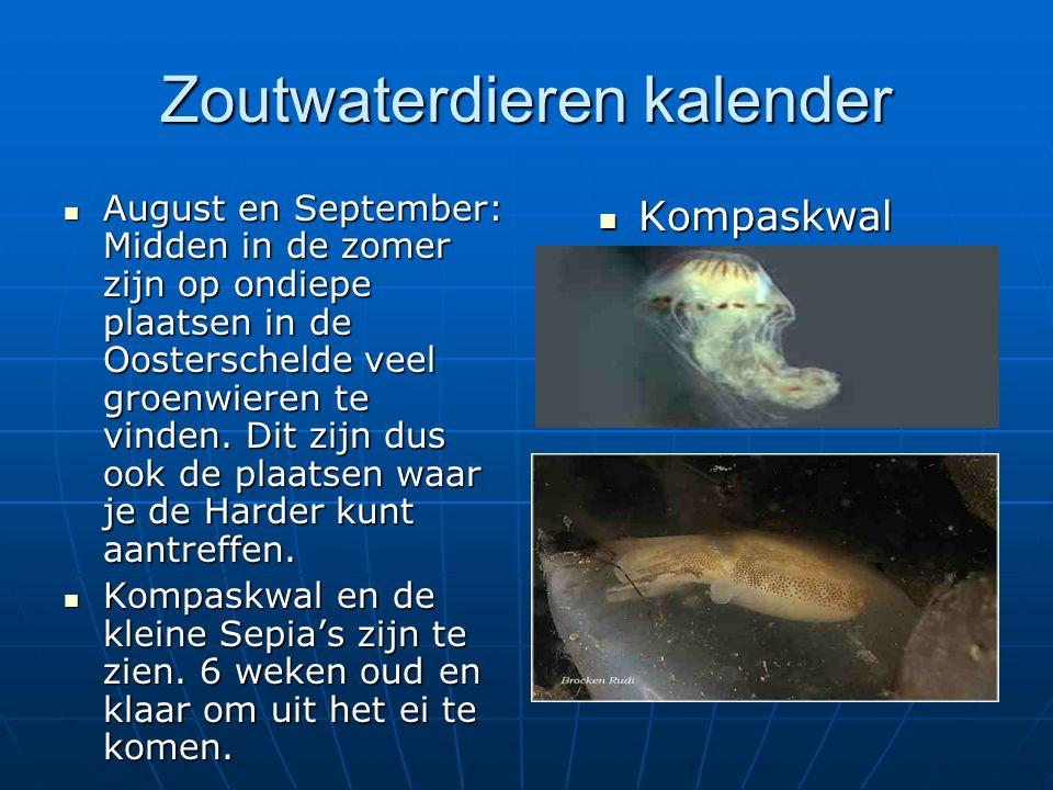 Zoutwaterdieren kalender August en September: Midden in de zomer zijn op ondiepe plaatsen in de Oosterschelde veel groenwieren te vinden. Dit zijn dus