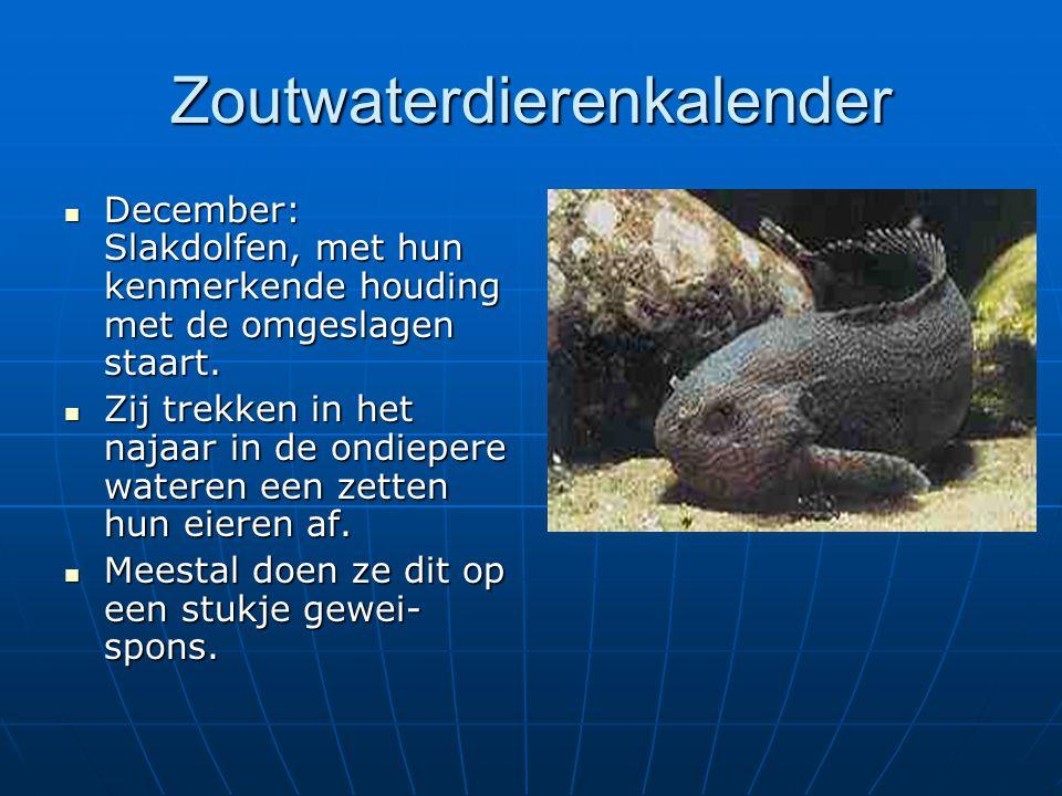 Zoutwaterdierenkalender December: Slakdolfen, met hun kenmerkende houding met de omgeslagen staart. December: Slakdolfen, met hun kenmerkende houding