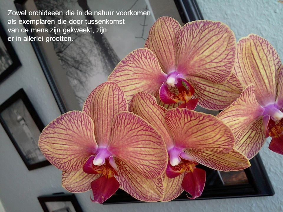 Zowel orchideeën die in de natuur voorkomen als exemplaren die door tussenkomst van de mens zijn gekweekt, zijn er in allerlei grootten.