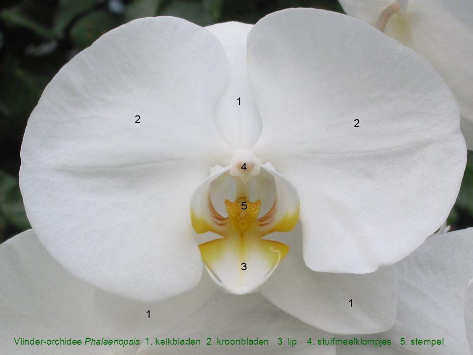 Vlinder-orchidee Phalaenopsis 1. kelkbladen 2. kroonbladen 3. lip 4. stuifmeelklompjes 5. stempel