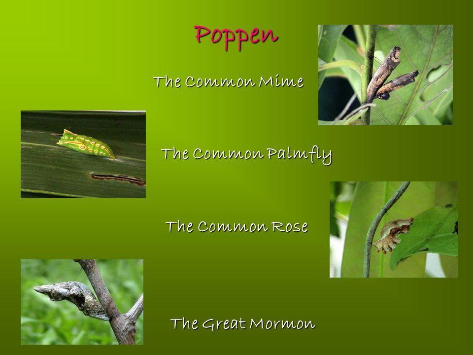 Poppen The Common Mime The Common Mime The Common Palmfly The Common Palmfly The Common Rose The Common Rose The Great Mormon The Great Mormon