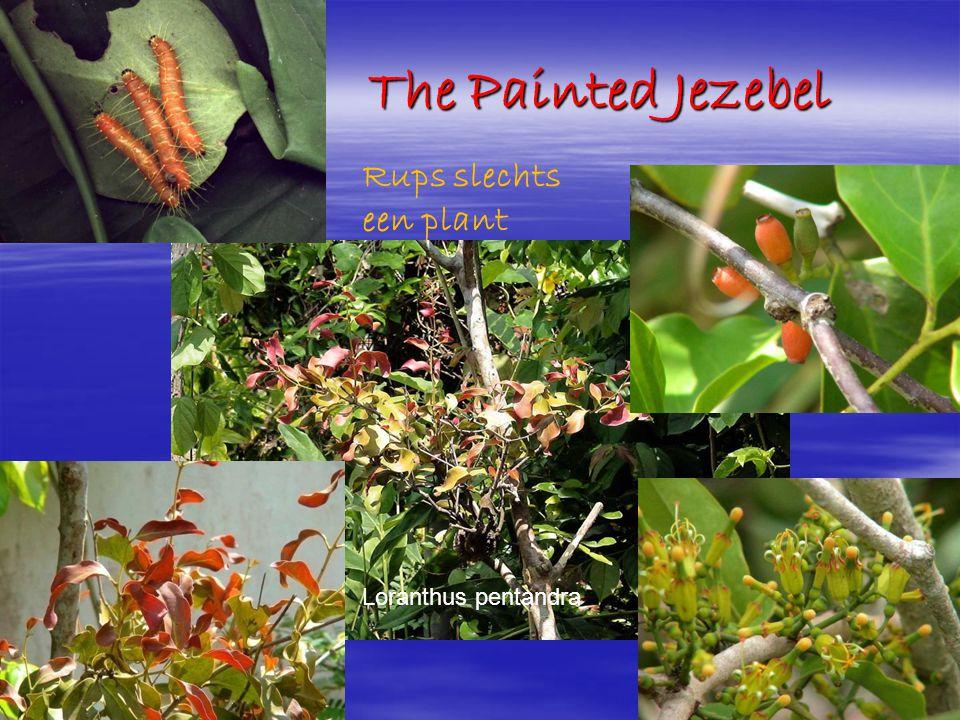 The Painted Jezebel The Painted Jezebel Loranthus pentandra Rups slechts een plant
