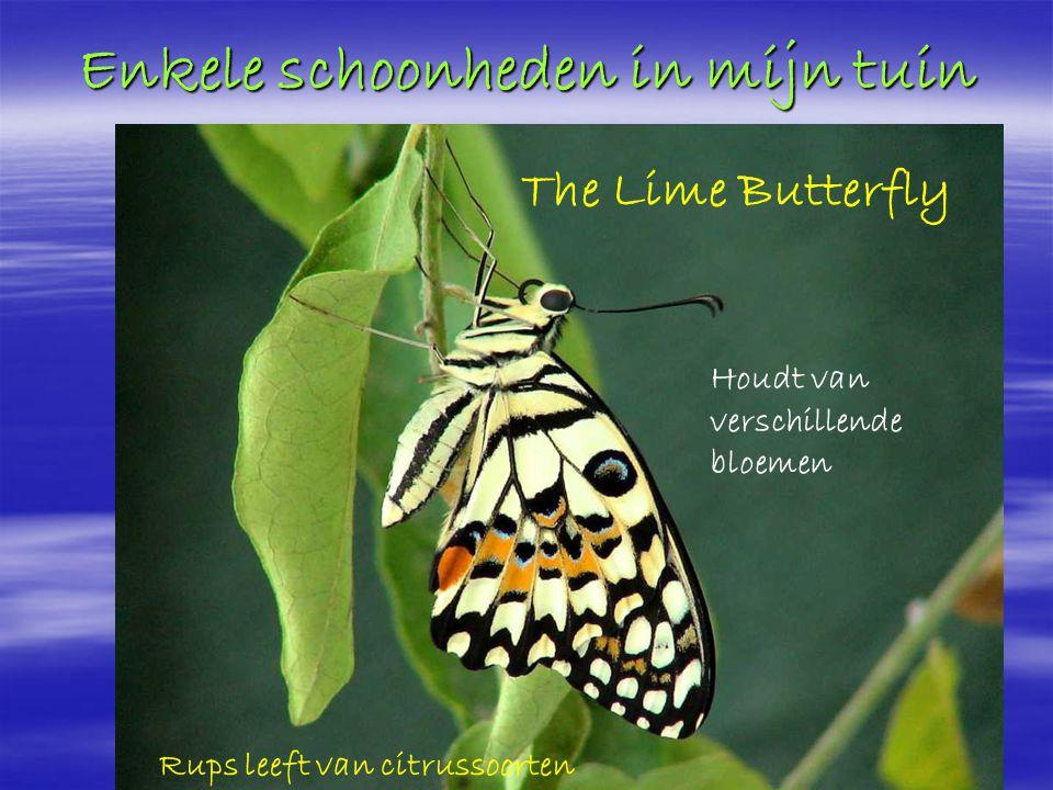 Enkele schoonheden in mijn tuin tterfly The Lime Butterfly Houdt van verschillende bloemen Rups leeft van citrussoorten