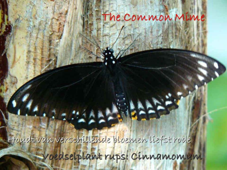 The Common Mime Houdt van verschillende bloemen liefst rode Voedselplant rups: Cinnamomum