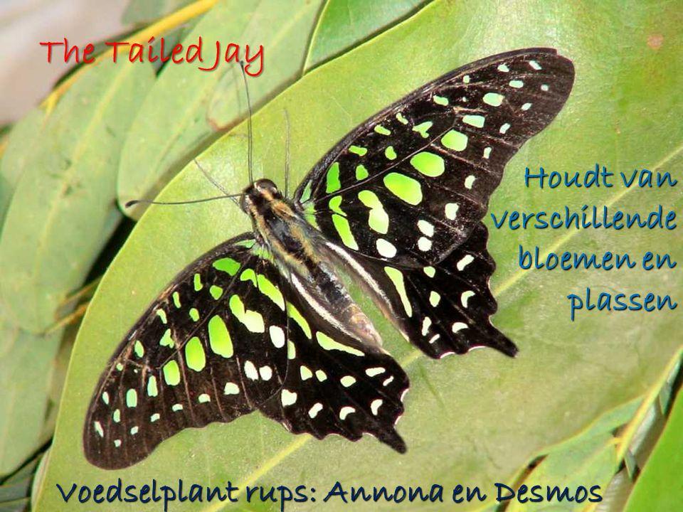 The Tailed Jay Houdt van verschillende bloemen en plassen Voedselplant rups: Annona en Desmos
