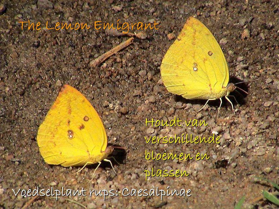 The Lemon Emigrant Houdt van verschillende bloemen en plassen Voedselplant rups: Caesalpinae