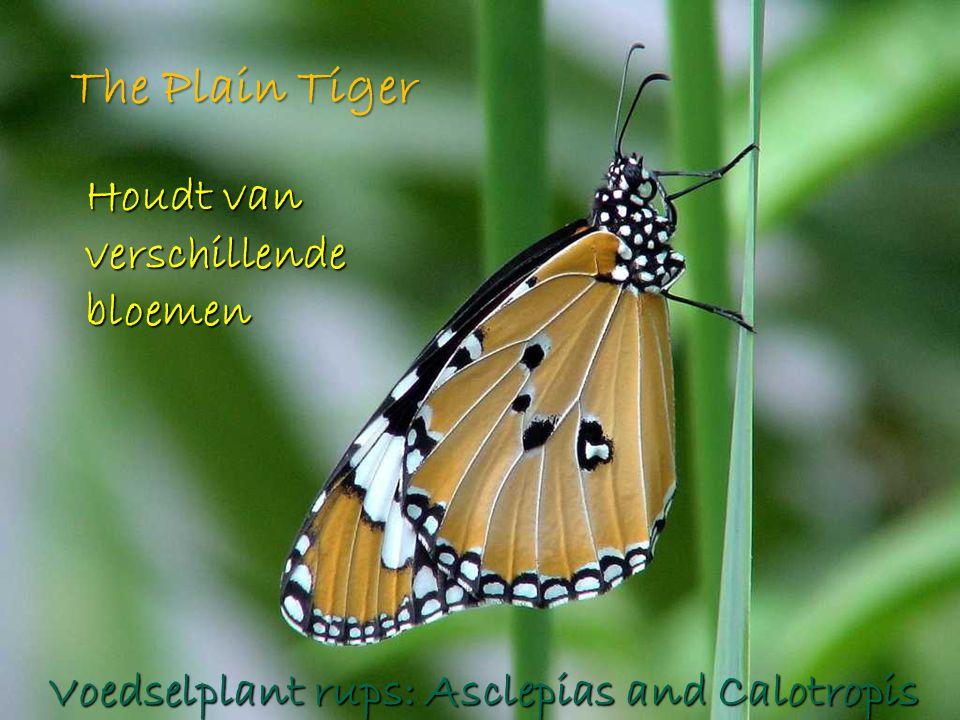 The Plain Tiger Houdt van verschillende bloemen Voedselplant rups: Asclepias and Calotropis