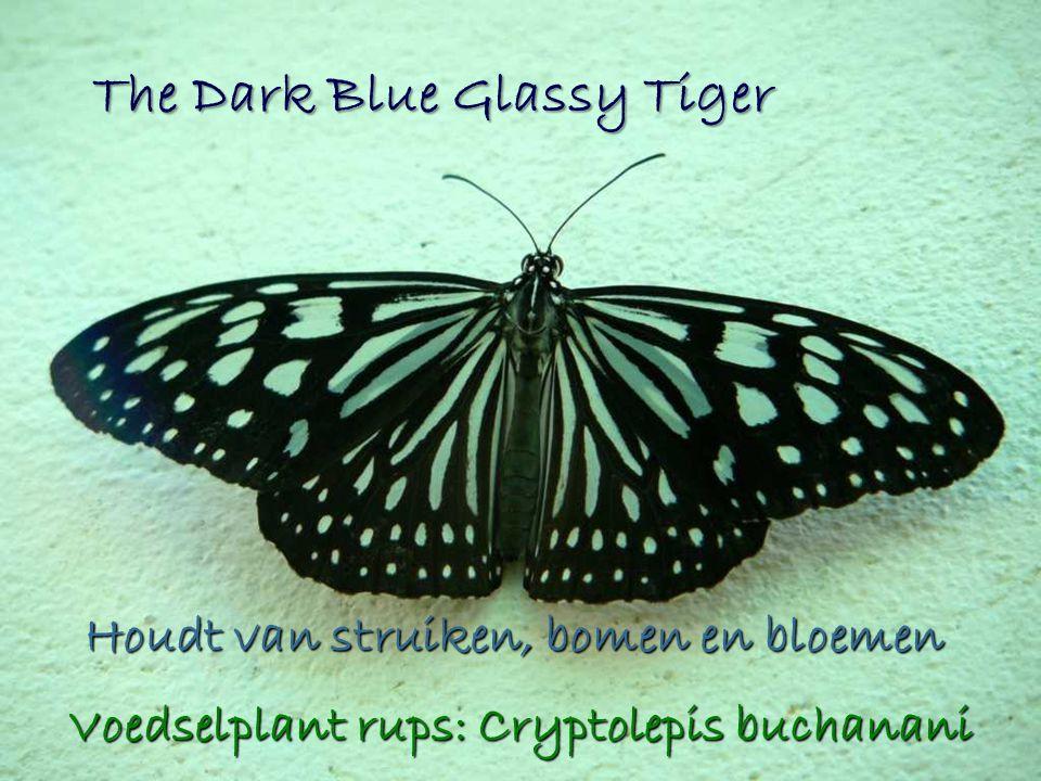 The Dark Blue Glassy Tiger Houdt van struiken, bomen en bloemen Voedselplant rups: Cryptolepis buchanani