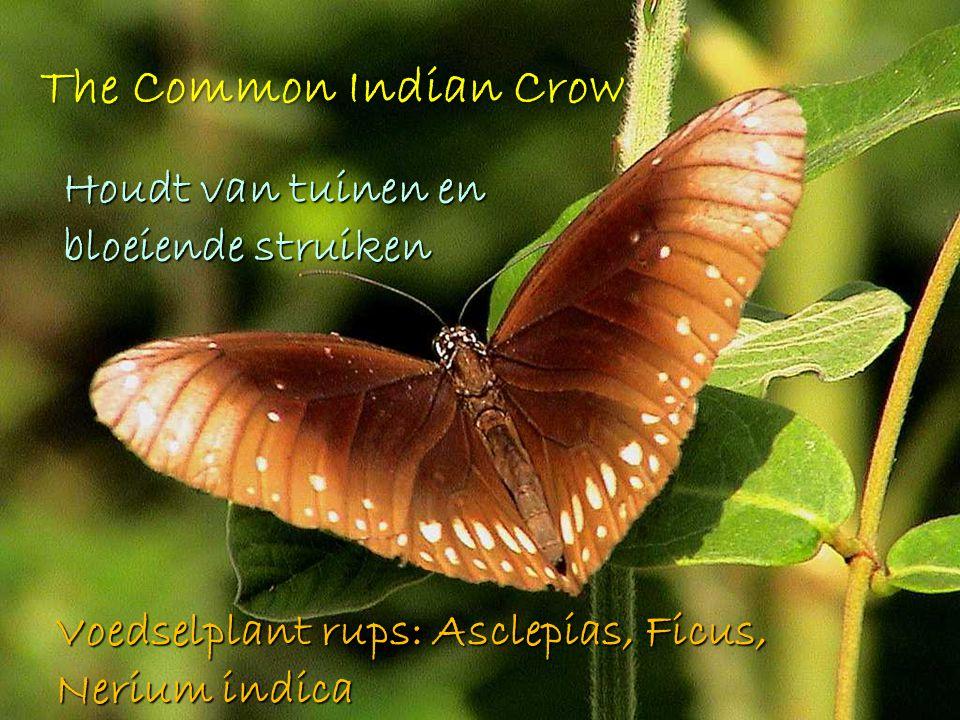 The Common Indian Crow Houdt van tuinen en bloeiende struiken Voedselplant rups: Asclepias, Ficus, Nerium indica