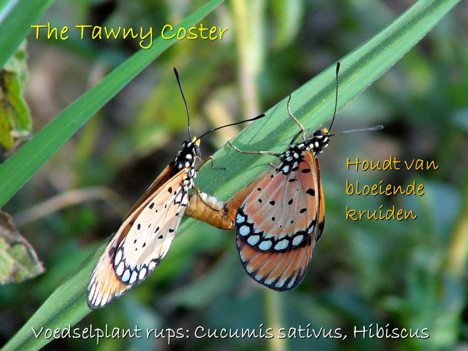 The Tawny Coster Houdt van bloeiende kruiden Voedselplant rups: Cucumis sativus, Hibiscus