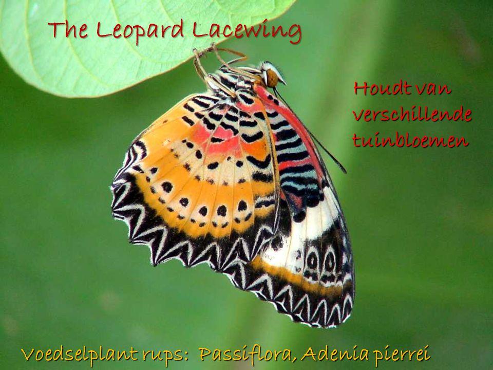 The Leopard Lacewing Houdt van verschillende tuinbloemen Voedselplant rups: Passiflora, Adenia pierrei