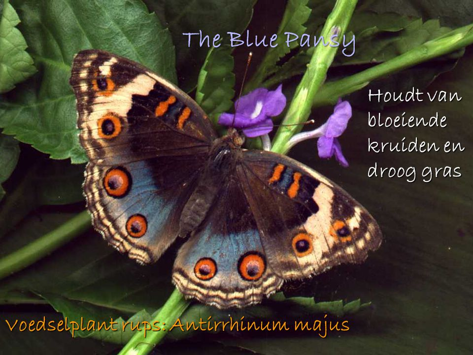The Blue Pansy Houdt van bloeiende kruiden en droog gras Voedselplant rups: Antirrhinum majus