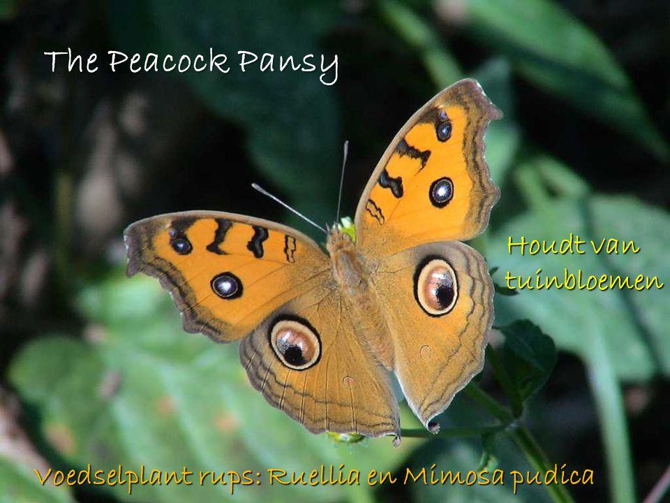 The Peacock Pansy Houdt van tuinbloemen Voedselplant rups: Ruellia en Mimosa pudica