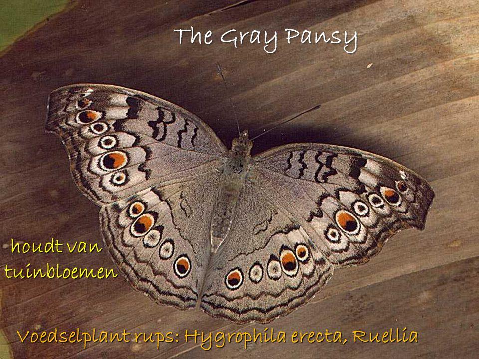The Gray Pansy houdt van tuinbloemen houdt van tuinbloemen Voedselplant rups: Hygrophila erecta, Ruellia