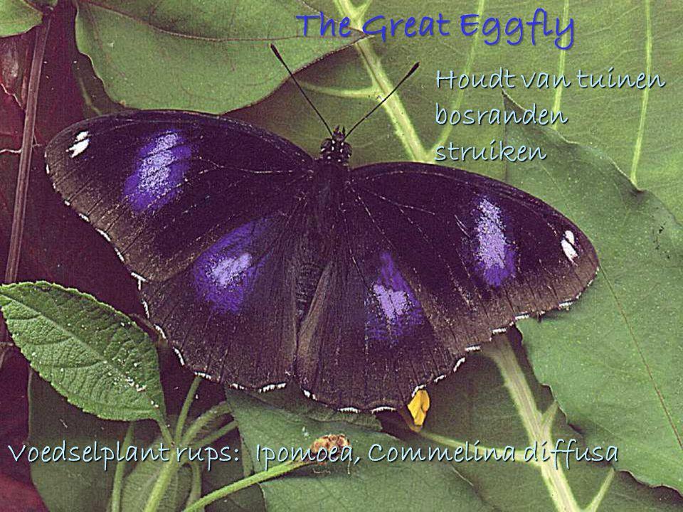 The Great Eggfly Houdt van tuinen bosranden struiken Voedselplant rups: Ipomoea, Commelina diffusa