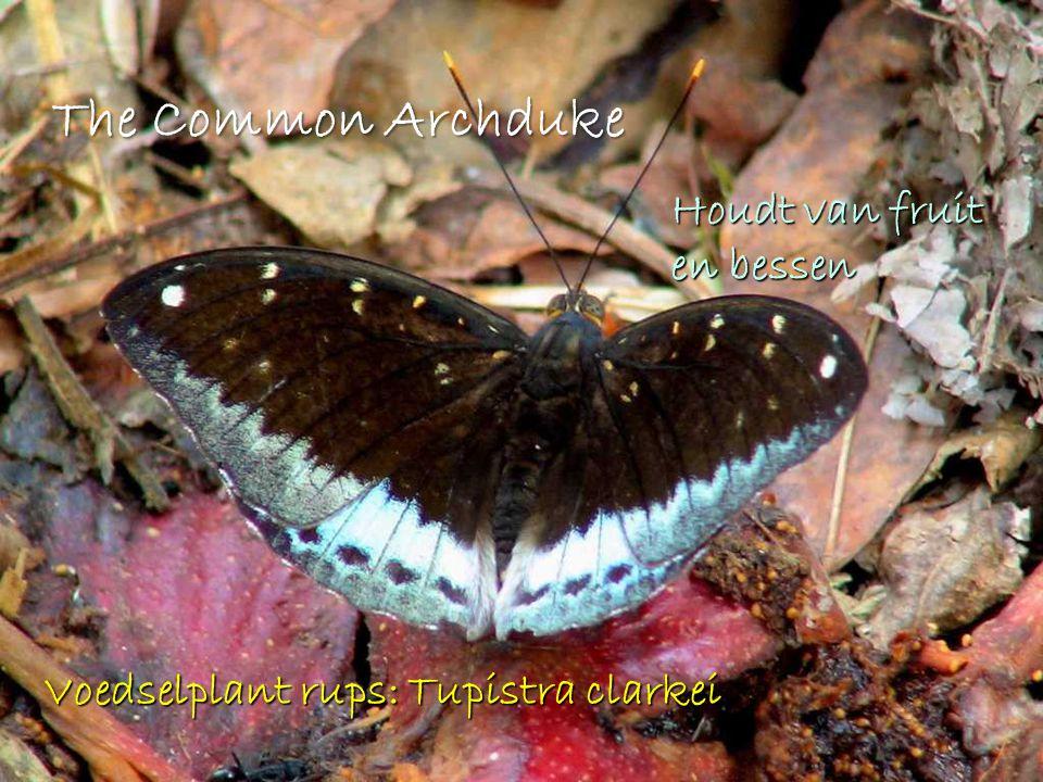 The Common Archduke Houdt van fruit en bessen Voedselplant rups: Tupistra clarkei