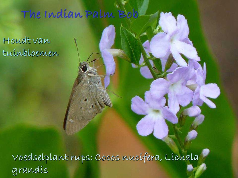 The Indian Palm Bob Houdt van tuinbloemen Voedselplant rups: Cocos nucifera, Licuala grandis