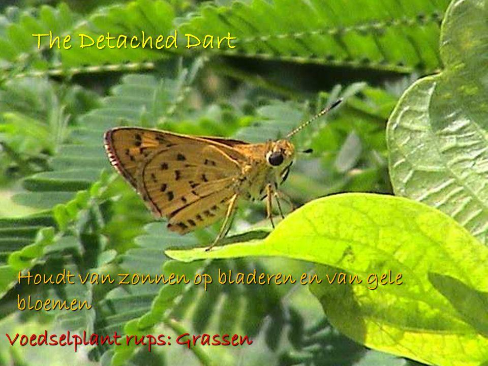 The Detached Dart Houdt van zonnen op bladeren en van gele bloemen Voedselplant rups: Grassen