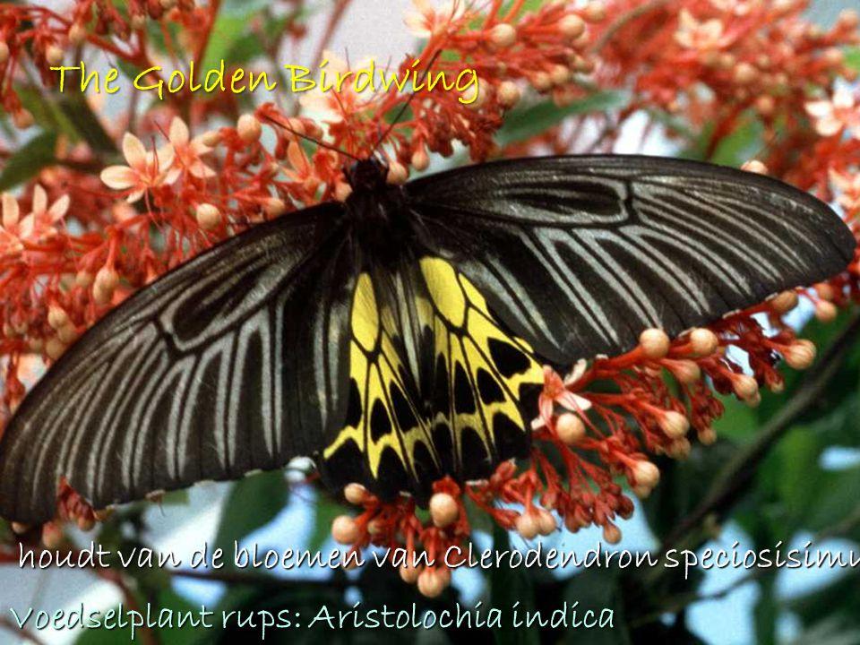 The Golden Birdwing houdt van de bloemen van Clerodendron speciosisimum houdt van de bloemen van Clerodendron speciosisimum Voedselplant rups: Aristolochia indica