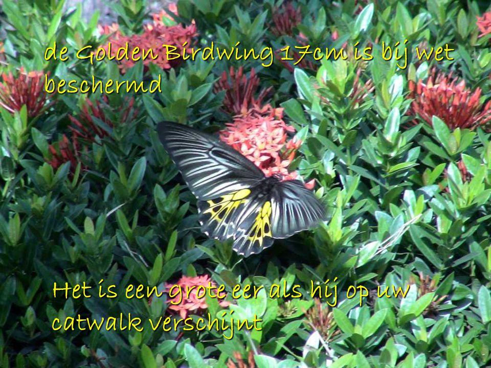 de Golden Birdwing 17cm is bij wet beschermd Het is een grote eer als hij op uw catwalk verschijnt