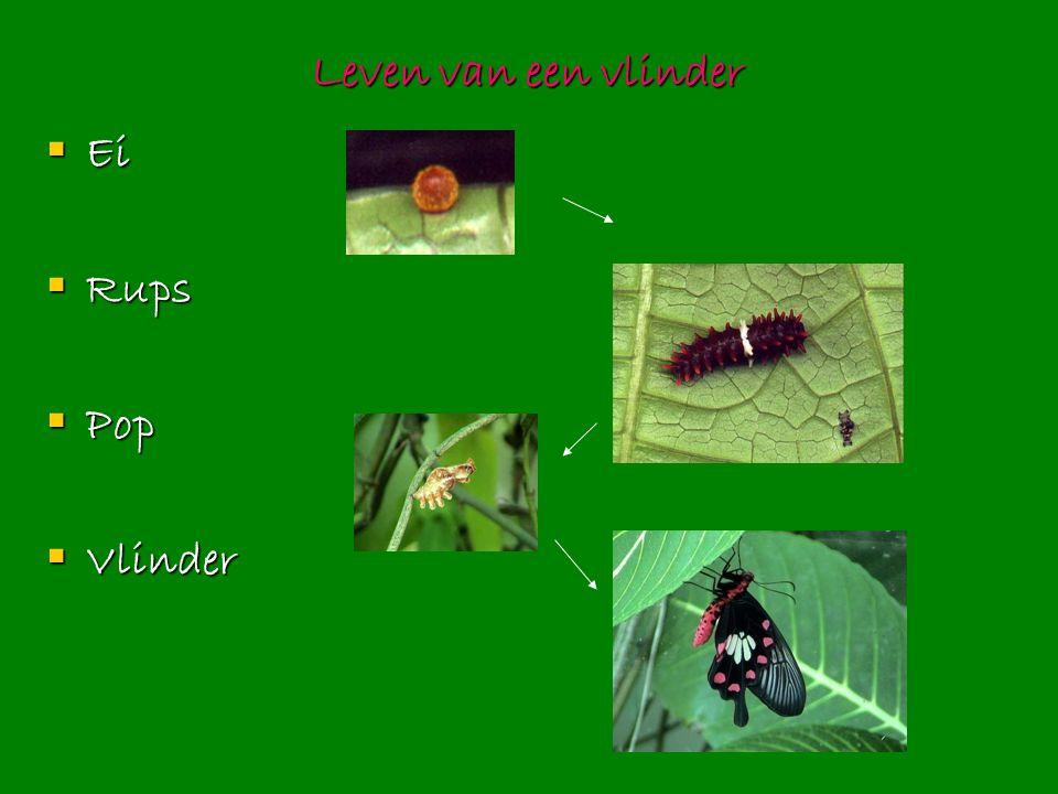 Leven van een vlinder  Ei  Rups  Pop  Vlinder