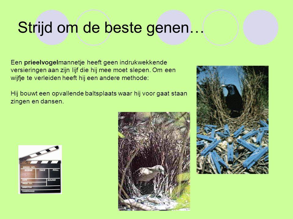 Strijd om de beste genen… Een prieelvogelmannetje heeft geen indrukwekkende versieringen aan zijn lijf die hij mee moet slepen. Om een wijfje te verle