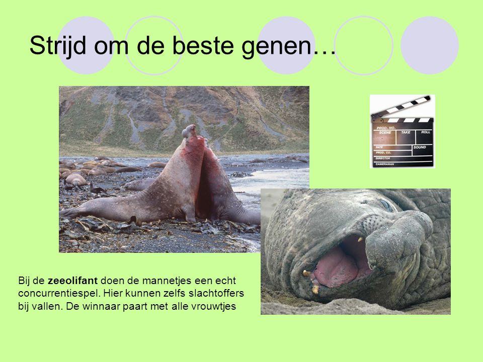 Strijd om de beste genen… Bij de zeeolifant doen de mannetjes een echt concurrentiespel. Hier kunnen zelfs slachtoffers bij vallen. De winnaar paart m