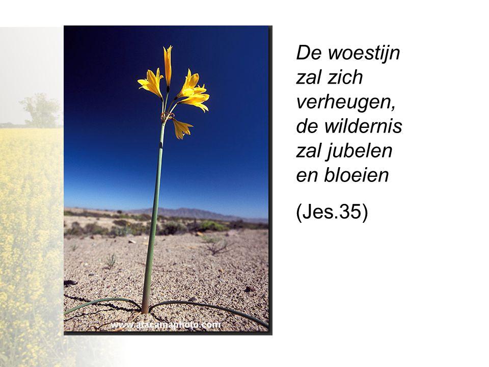 De woestijn zal zich verheugen, de wildernis zal jubelen en bloeien (Jes.35)