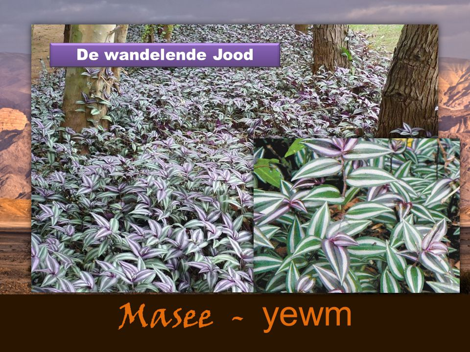 Masee - yewm De wandelende Jood