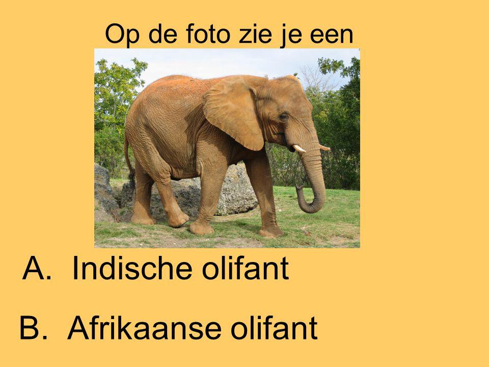 Op de foto zie je een A.Indische olifant B.Afrikaanse olifant