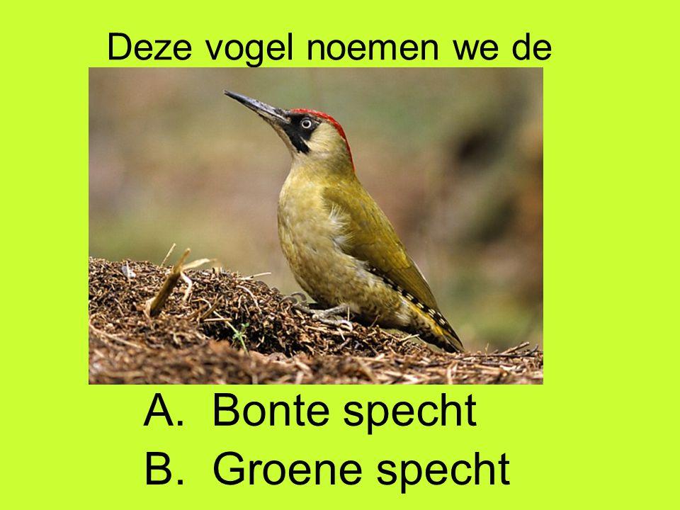 Deze vogel noemen we de B. Groene specht A. Bonte specht