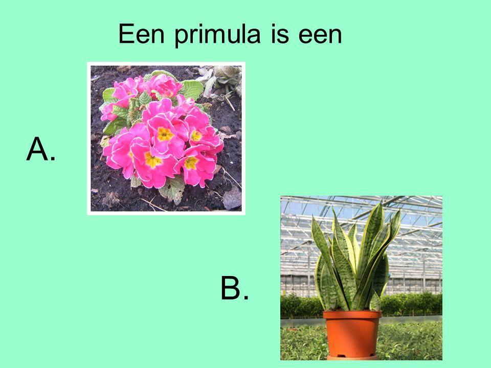 Een primula is een A. B.