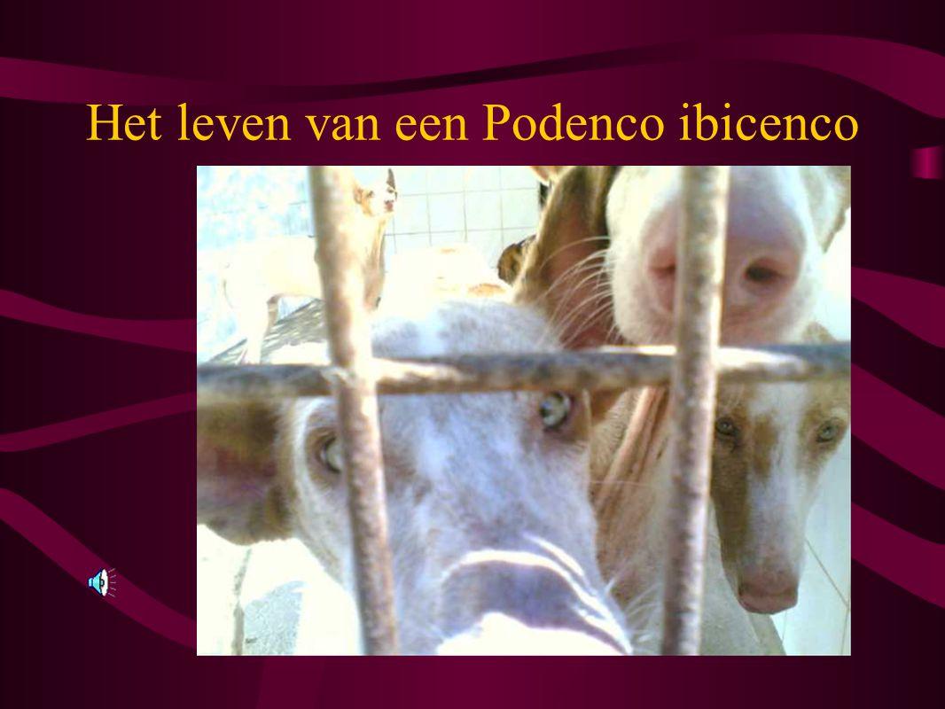 Het leven van een Podenco ibicenco