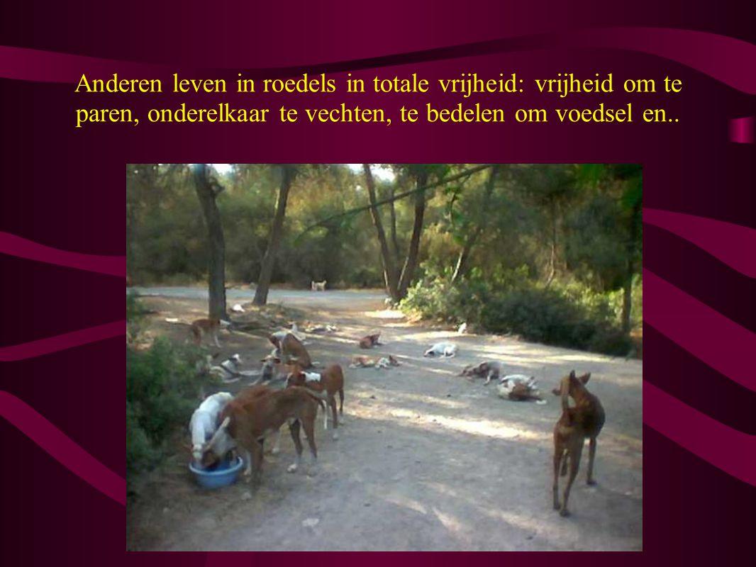 Anderen leven in roedels in totale vrijheid: vrijheid om te paren, onderelkaar te vechten, te bedelen om voedsel en..