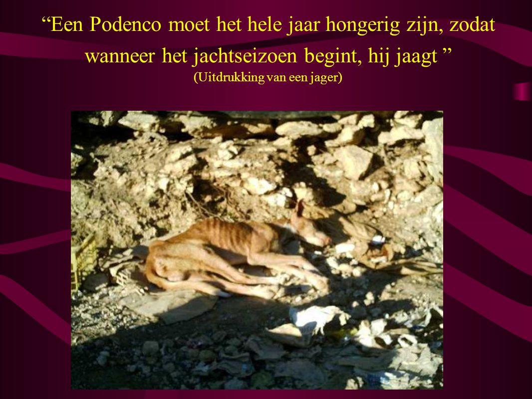 Een Podenco moet het hele jaar hongerig zijn, zodat wanneer het jachtseizoen begint, hij jaagt (Uitdrukking van een jager)