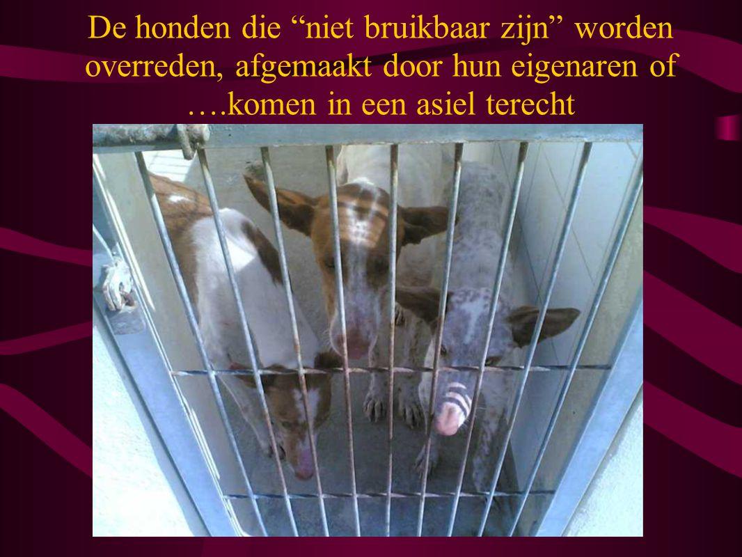 De honden die niet bruikbaar zijn worden overreden, afgemaakt door hun eigenaren of ….komen in een asiel terecht