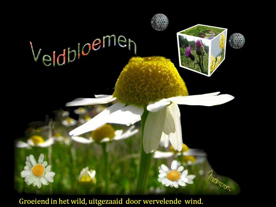 Groeiend in het wild, uitgezaaid door wervelende wind.